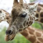 zooGiraffe2Slider